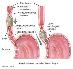 lower esophageal sphincter endoscopy - klejonka, Human body