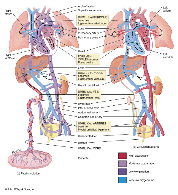 ... Dissection Worksheet Answers likewise Fetal Circulation Flow Chart. on