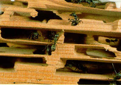 Summary: Carpenter Ant Biology