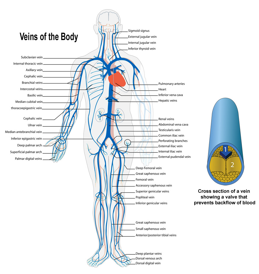 Arteries And Veins Of The Body S
